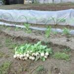 厳冬期でもビニールハウスでカブの栽培に成功