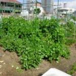 収穫間近のきぬさやとそら豆