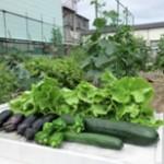 夏野菜が採れ始めました。