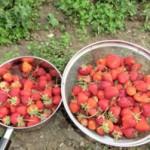 大量のイチゴはジャムにしました。