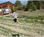 麦踏み(1月)寒中の麦踏み。踏まれて強くなる麦はすごい。