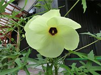 彩やかな黄色の花びらが特長