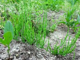 地中深く根を伸ばして抜き取られても根だけは残る地下逃避タイプ