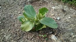 ソラマメは寒さに強い野菜。霜で凍りついた土でも大丈夫。