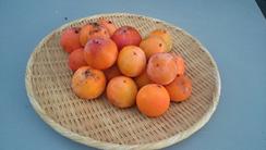 今年は成り年。柿は1年毎に実成りが異なります。