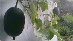 冬瓜 冬の瓜と書くが夏の野菜。 煮て食べると最高です。