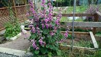 毎年勝手に咲くトロロアオイの花は満開です。