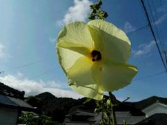 今年も花オクラの開花が始まりました。
