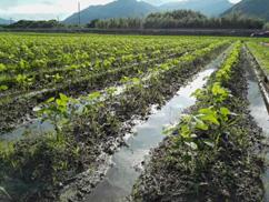 枝豆は10月の収穫祭に向けて成長中です。